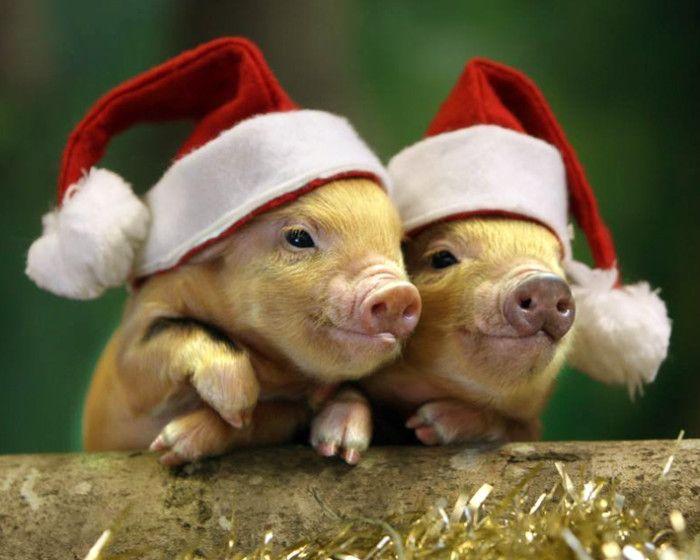 встречаем год жёлтой свиньи