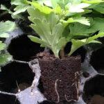 Укоренившийся черенок хризантемы
